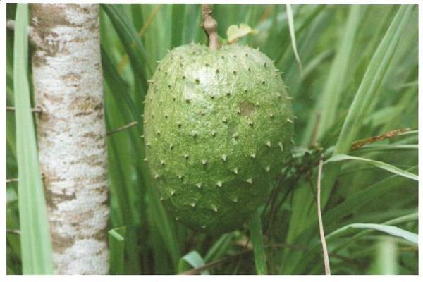 Anonaceae, Anonamuricata