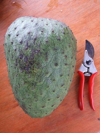 Anonaceae, Anona muricata,guanabana