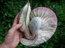 Aristolochia side view to scale