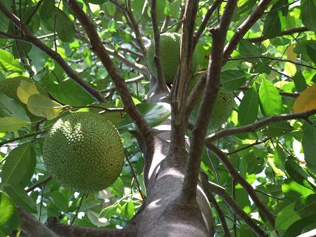 Artocarpus heterophyllus, Jackfruit, looking up