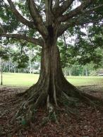 Canarium ovatum, old tree