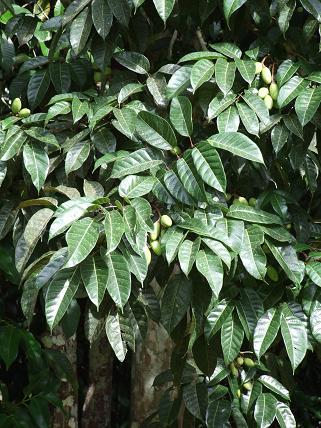 Canarium ovatum, Pili nut, youngfruit