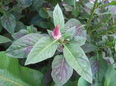 Amaranthaceae, Celosia argentea