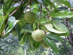 Dillenia indica fruit