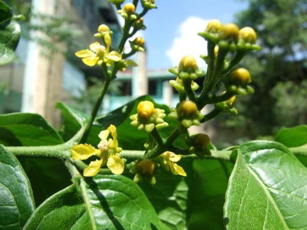 Bunchosia argentea flower