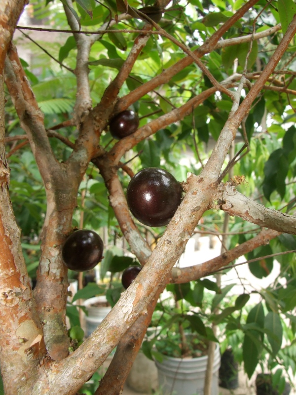Dwarf jaboticaba, fruit