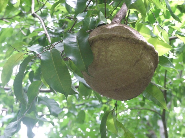 Sapucaia nut and leaf