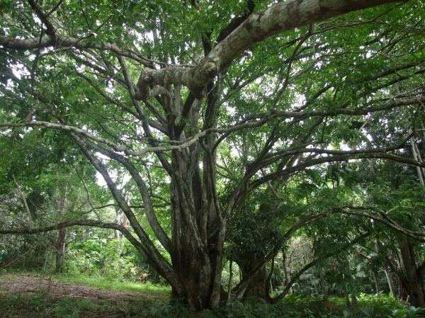 Sapucaia tree