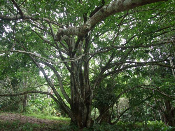 Sapucaia tree