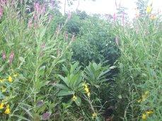 Celosia, crotolaria, plumeria, guandu