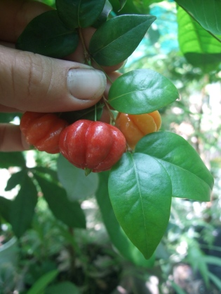 suriname cherry