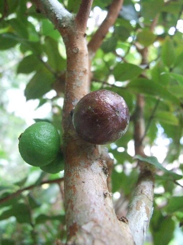 dwarf jaboticaba fruit