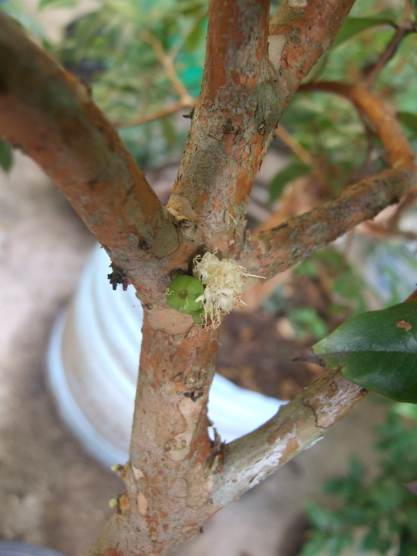 Dwarf Jaboticaba, young fruit