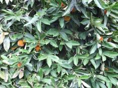 Diospyros blancoi, fruiting tree