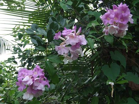 Garlic vine, a flowering variety