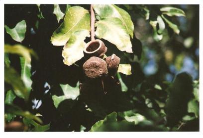 Lecythis spp., mini-Brazilnut