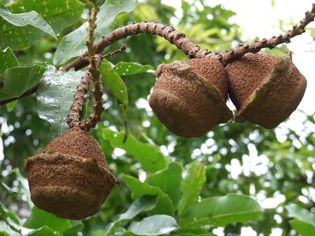 Lecythis spp., mini-Brazilnut, ripepods