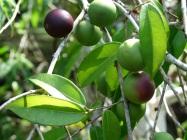 Myrtaceae, False Jaboticaba