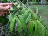 Myrtaceae, giant jaboticaba, false jaboticaba,