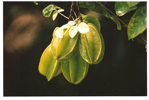 Oxalidaceae,starfruit
