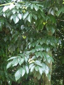 Pili, leaf, fruit, tree
