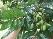 Pili, leaf, fruit
