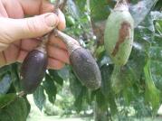 Pili, ripe fruit
