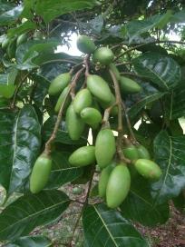 Pili, unripe fruit