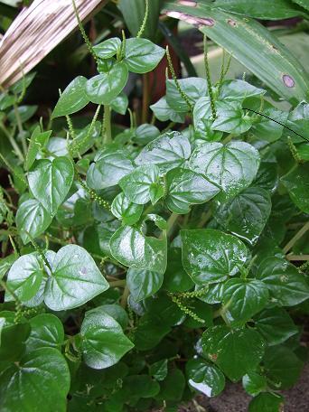 Peperonia