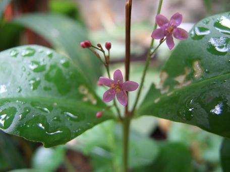 Portulacaceae, Surinamespinach