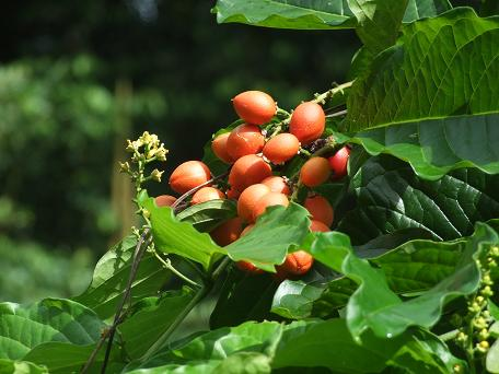 Rutaceae, Bunchosia argenta, peanutbutter fruit, leaves andfrui