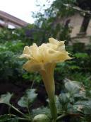 Datura bloom