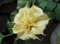 Datura from side
