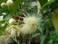 syzygium-flower1
