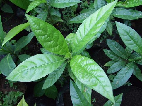 Rubiaceae, Randia formosa, blackberry jamfruit
