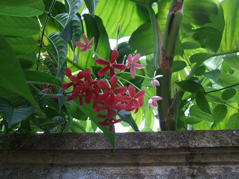 Combretaceae, Quisqualis indica, Rangoon creeper, Clementinas