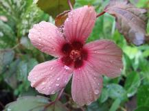 Malvaceae, false roselle, cranberry hibiscus