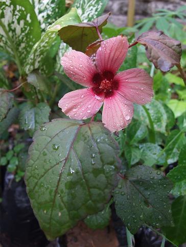 Malvaceae Fasle Roselle Cranberry Hibiscus Edible Leaves
