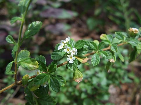 True oregano,flowering