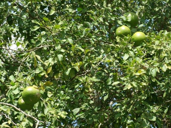 bael-fruit