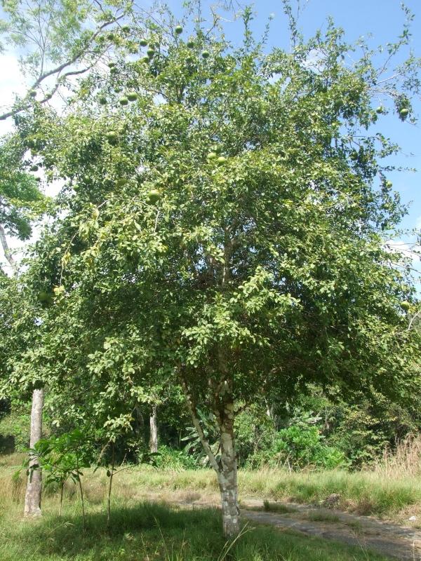 bael-tree