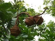lecythesis-elliptica-mini-brazilnut1