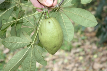 Pachira glabra, young fruit