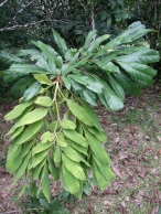 brownea-leaf