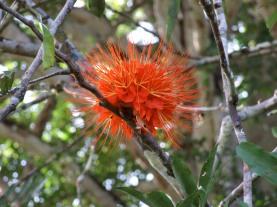 brownea-spp-flower-2