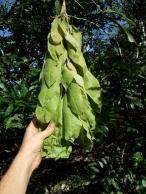 brownea-spp-leaves-flushing-out