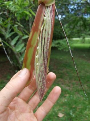 brownea-unopened-leaves