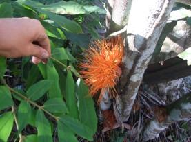 brownea