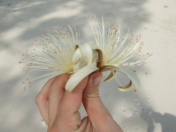 Cedro espino flower