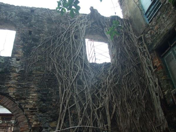 ficus-wall